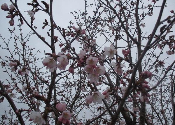 20180509-2桜.JPG