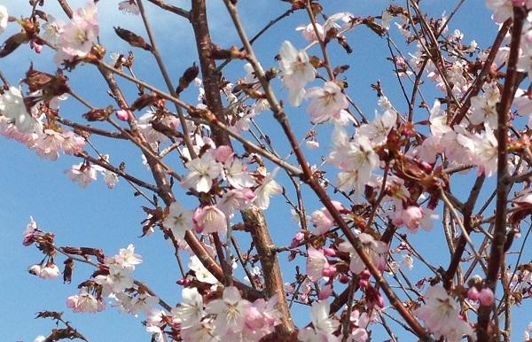 20180512 桜2 - コピー.JPG