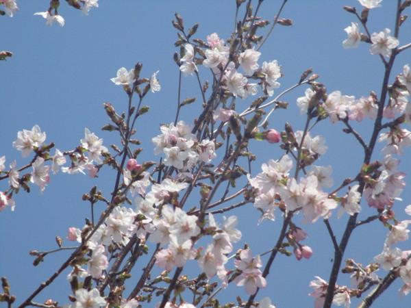 20180513桜.JPG